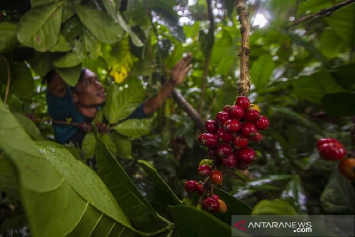 Liberica coffee, a black diamond to save peatlands