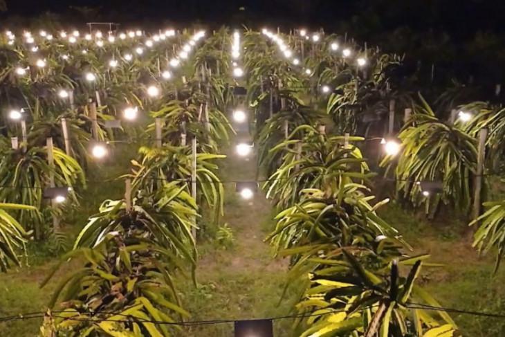 Elektrifikasi pertanian tingkatkan omset petani buah naga Maluku gairahkan perekonomian
