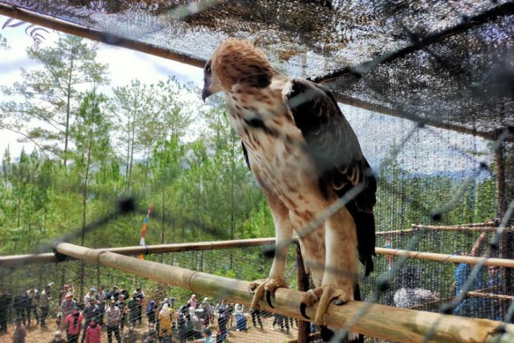 Enam burung elang brontok dilepasliarkan di hutan Aceh