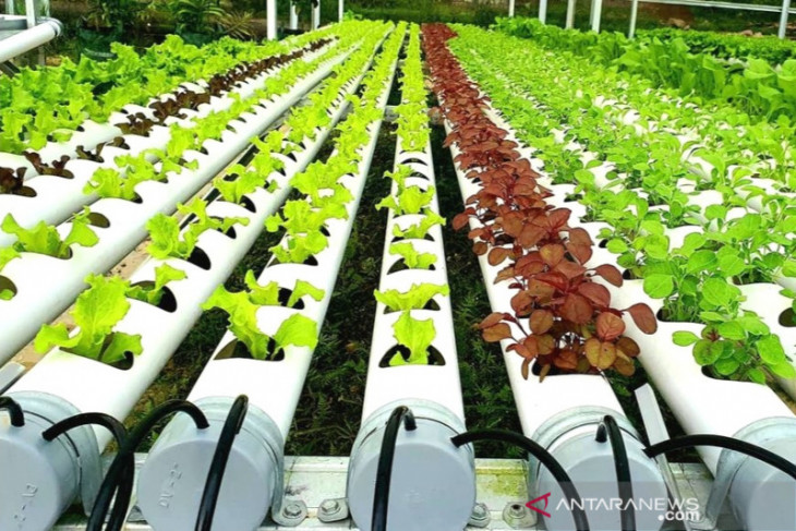 Tapin's BUMDes reduces stunting with hydroponic vegetable