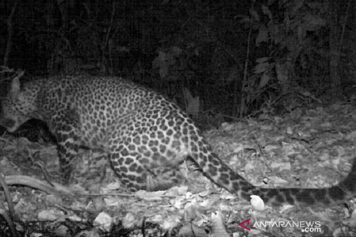 Macan tutul jawa terekam kamera berkeliaran di hutan Sanggabuana Karawang