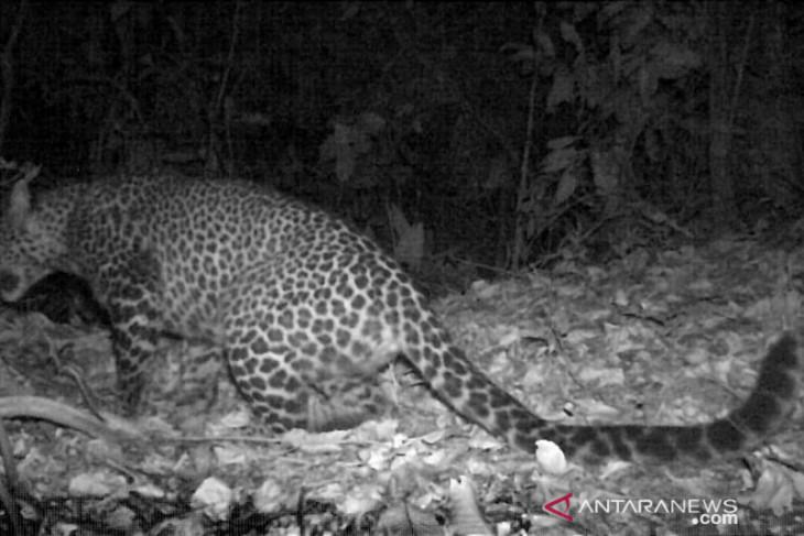 Macan tutul yang terekam kamera di Gunung Sanggabuana berjenis kelamin betina