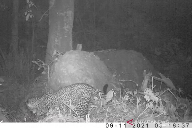Terekamnya macan tutul jawa di Gunung Sanggabuana dianggap kabar menggembirakan