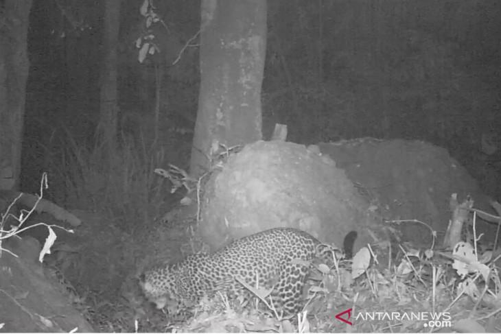 Dedi Mulyadi minta warga tak memburu macan tutul di Gunung Sanggabuana Karawang