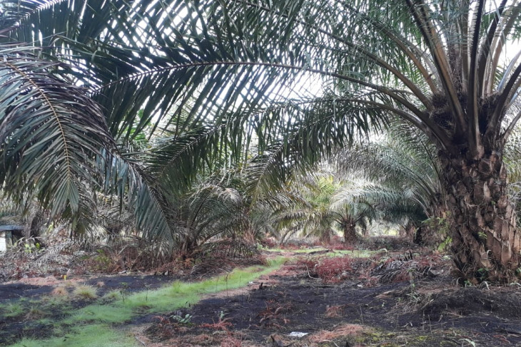 Dinas Pertanian Mukomuko tolak peremajaan sawit dalam lahan kosong