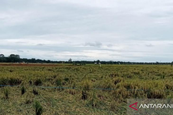Ratusan hektare tanaman padi di Mukomuko terdampak banjir