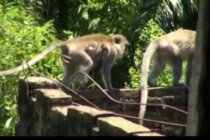 Ratusan monyet serang pemukiman warga di Tebing Tinggi