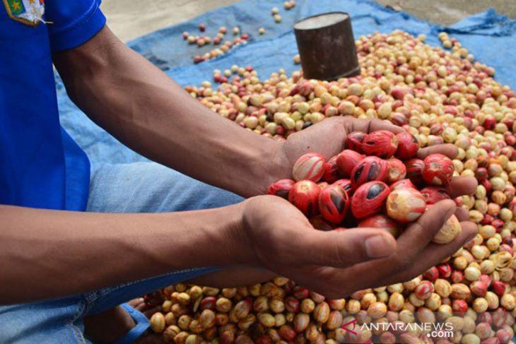 4.978 hektare tanaman pala di Aceh Selatan rusak