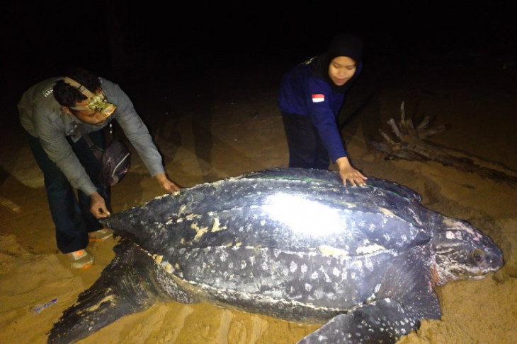 Penyu terbesar di dunia muncul di pesisir pantai Paloh Kalbar