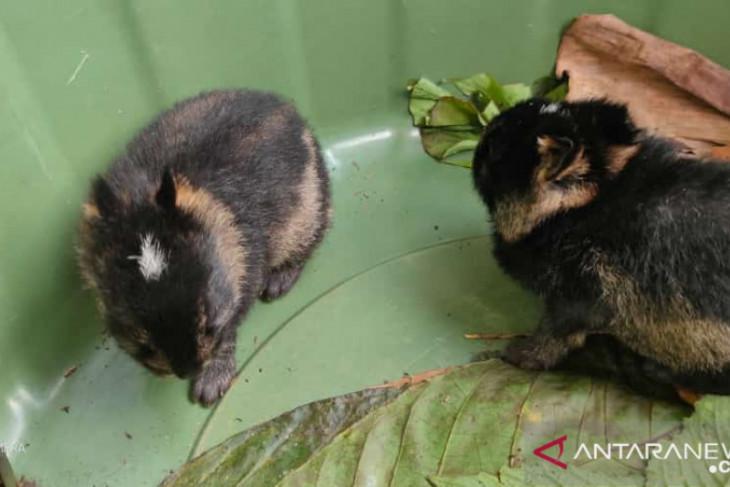 Dua kelinci liar Sumatera diserahkan ke BKSDA Bengkulu
