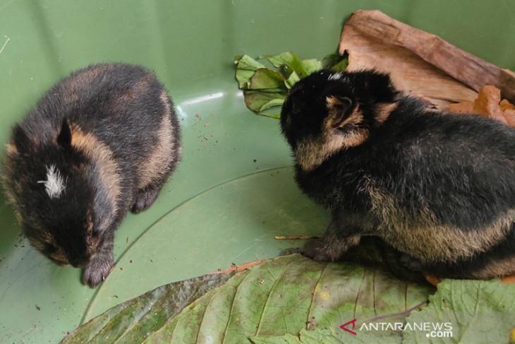 Warga serahkan dua kelinci Sumatera ke BKSDA Bengkulu