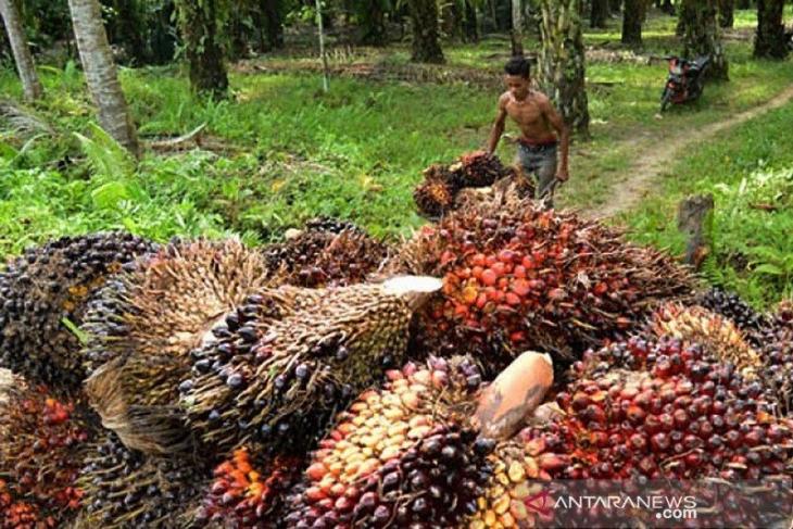 Ini saran Apkasindo Aceh terkait moratorium kelapa sawit