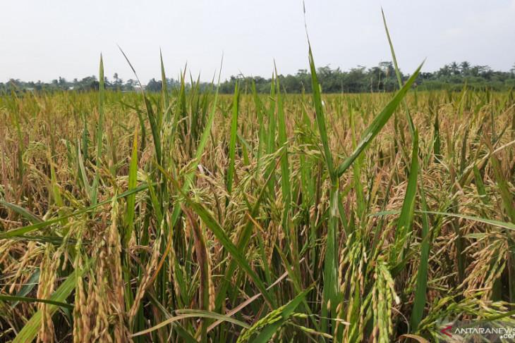 Tangerang dorong para petani tingkatkan produksi padi di tengah pandemi