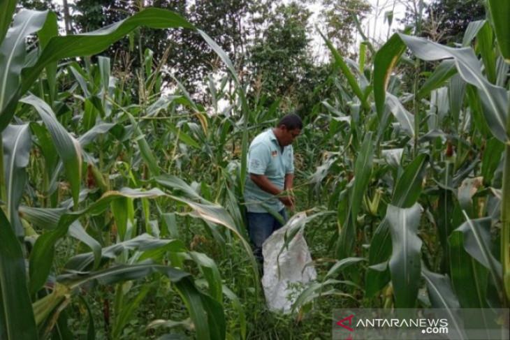 Pemprov Babel fokus tingkatkan kualitas hasil pertanian