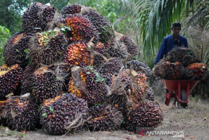 Harga TBS kelapa sawit di Aceh tembus Rp2.340 per kilogram