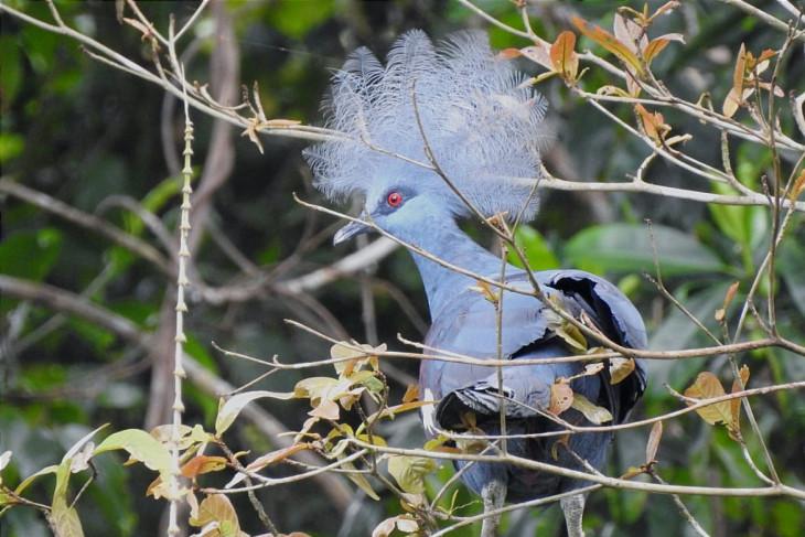 37 burung endemik Papua dilepas ke hutan