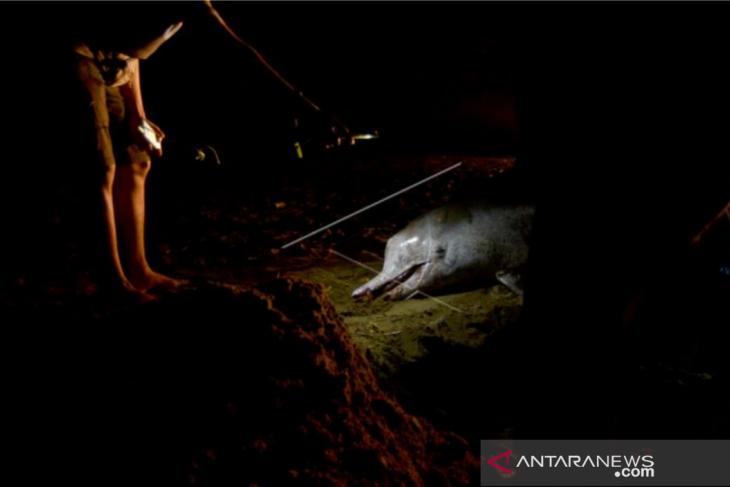 Lumba-lumba mati terdampar di Pantai Pasir Jambak