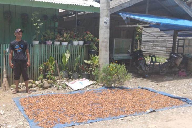 Harga kakao di Aceh Utara capai Rp34 ribu per kilogram