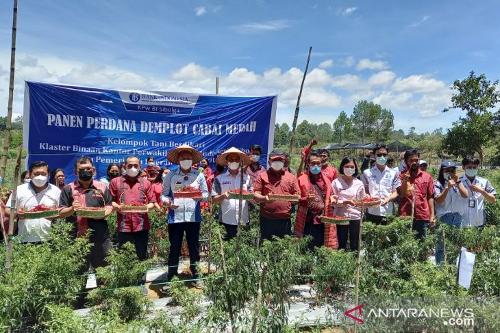 Kelompok tani binaan BI Sibolga di Siborongborong, panen perdana cabai merah