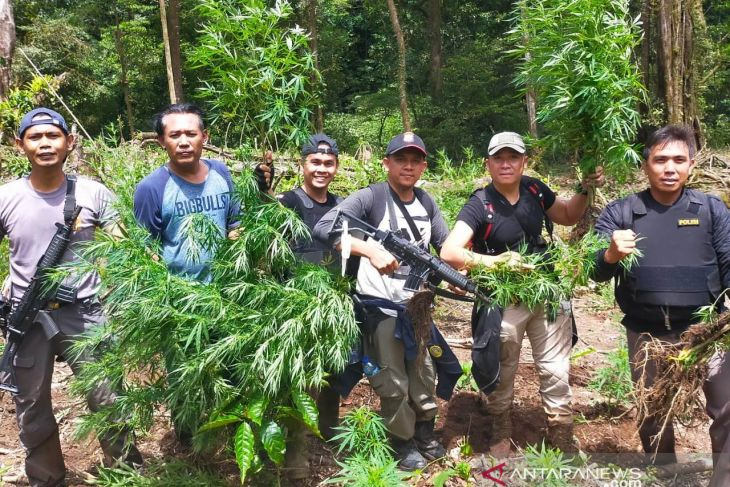 Polisi Bengkulu temukan 1,5 hektare ladang ganja