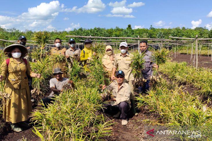 Jahe putih lokal Terentang hasilkan 16 ton/ha di lahan gambut