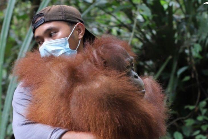 Tiga orangutan dilepasliarkan di hutan Kapuas Hulu