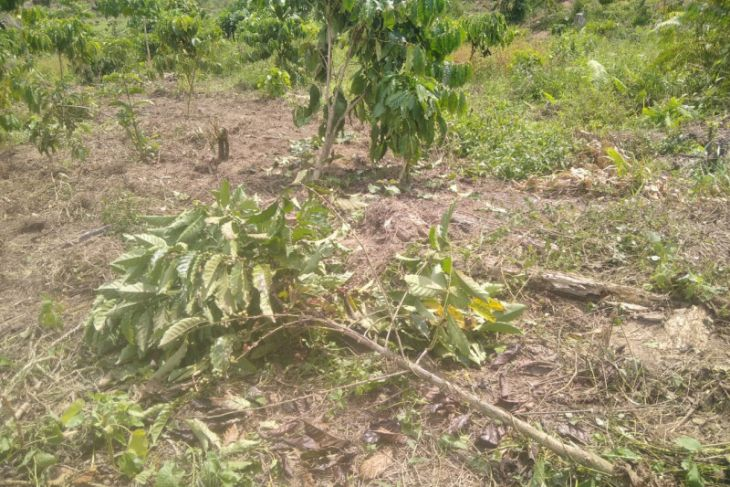Kawanan gajah liar rusak kebun kopi warga Aceh Jaya