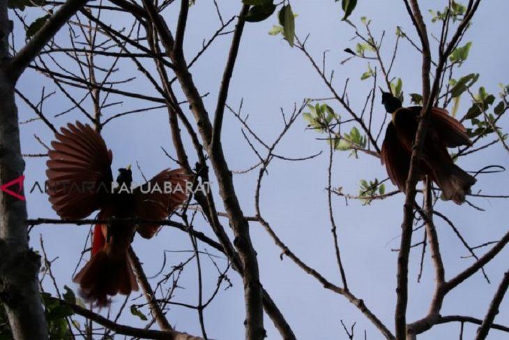 Taking a peek at cenderawasih in its natural habitat