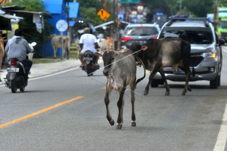Ternak berkeliaran di jalan nasional
