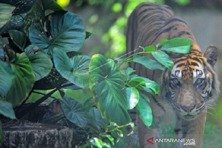 Polisi dan BKSDA Jambi pasang perangkap untuk tangkap harimau di Merangin