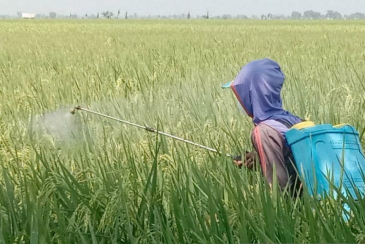 Petani Subang atasi serangan hama wereng dengan penguatan nutrisi