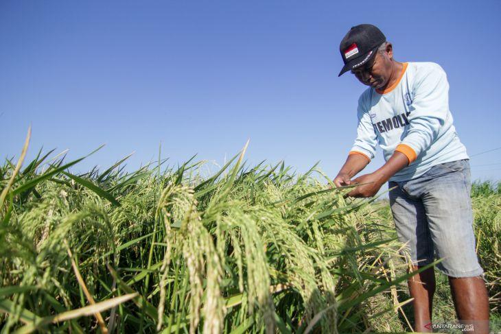 Pemkab Situbondo gelontorkan dana Rp13,9 miliar untuk pengadaan pupuk gratis petani
