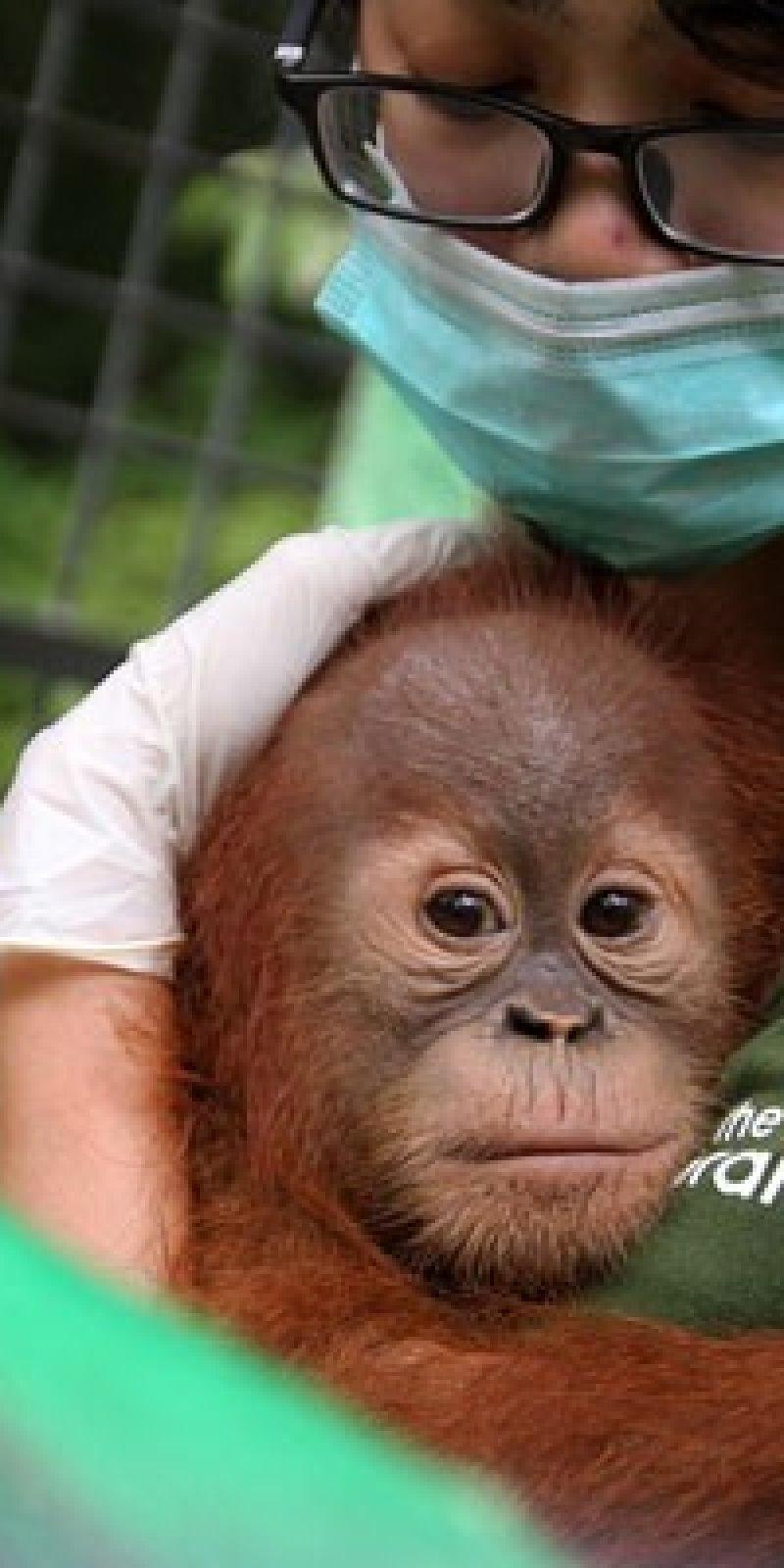 BKSDA Kalbar Sita Orangutan Dan Kucing Hutan ANTARA News