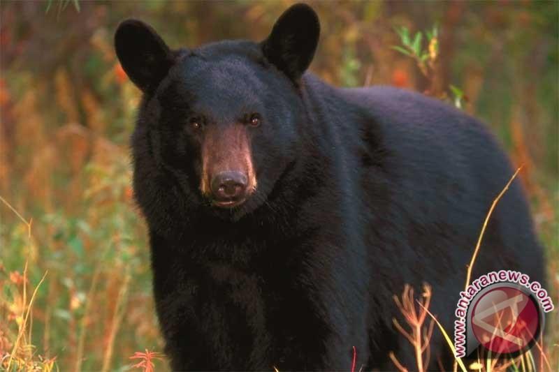 Seorang wanita dianiaya dan disantap beruang hitam di Colorado AS