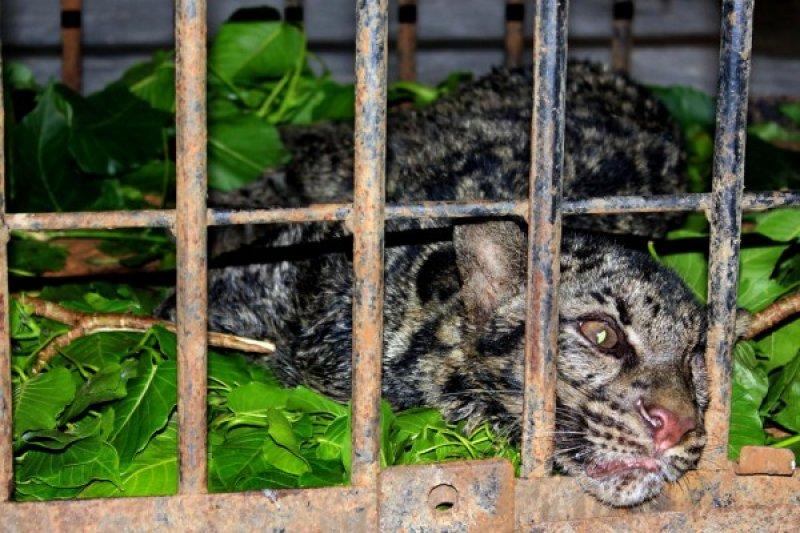 Binatang buas santap habis tujuh ekor ternak milik warga Padang Pariaman