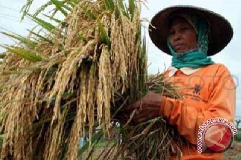 Petani Banaran surplus gabah 10 persen