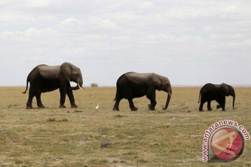 Gading dari 117 gajah liar disita