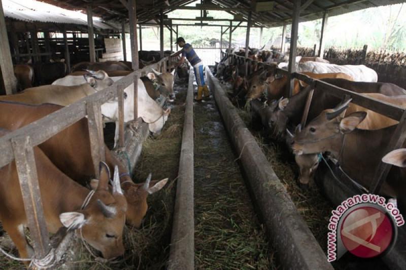 Disnakan targetkan populasi  sapi capai 11 ribu ekor