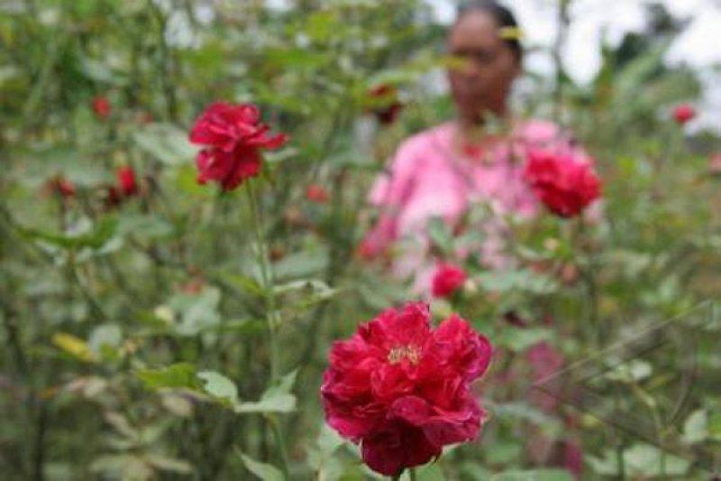 Petani Dieng Rintis Pengembangan Industri Bunga Mawar Antara Jateng