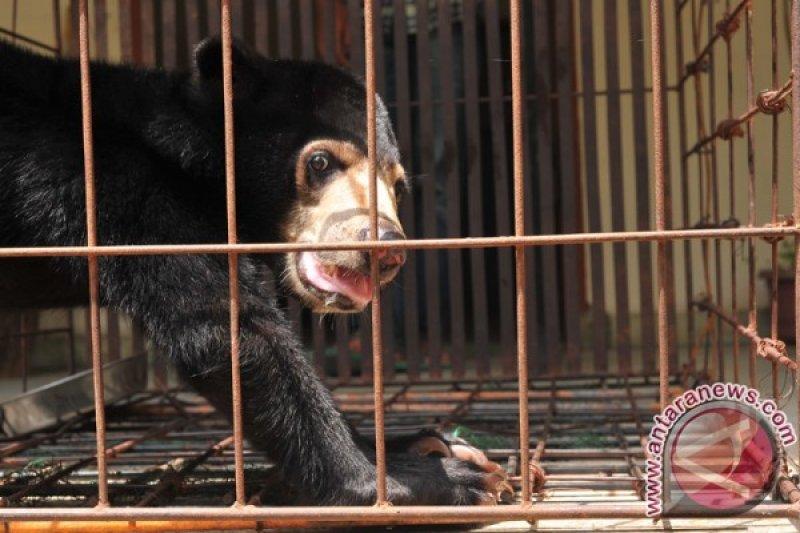 BKSDA ungkap perdagangan organ beruang madu