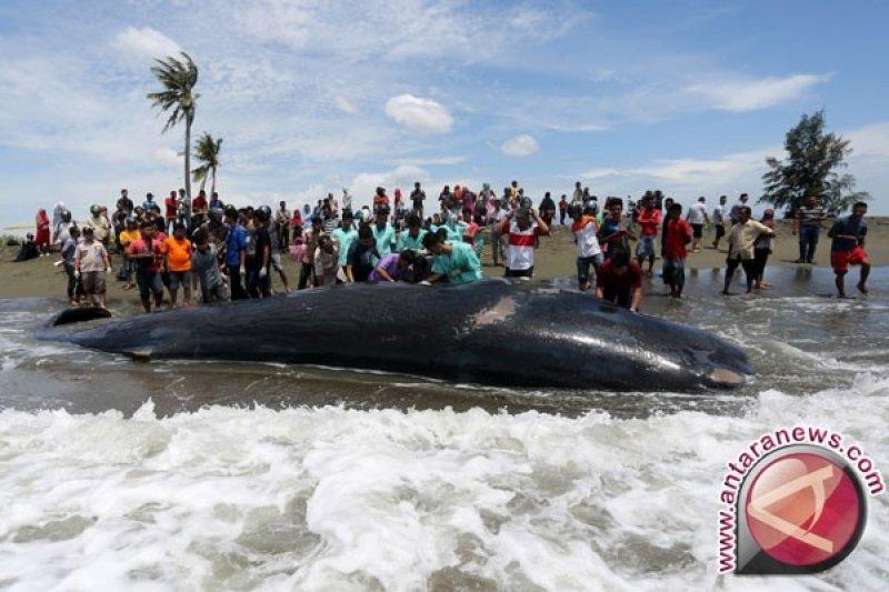 Seekor paus terdampar di pantai Mentawai