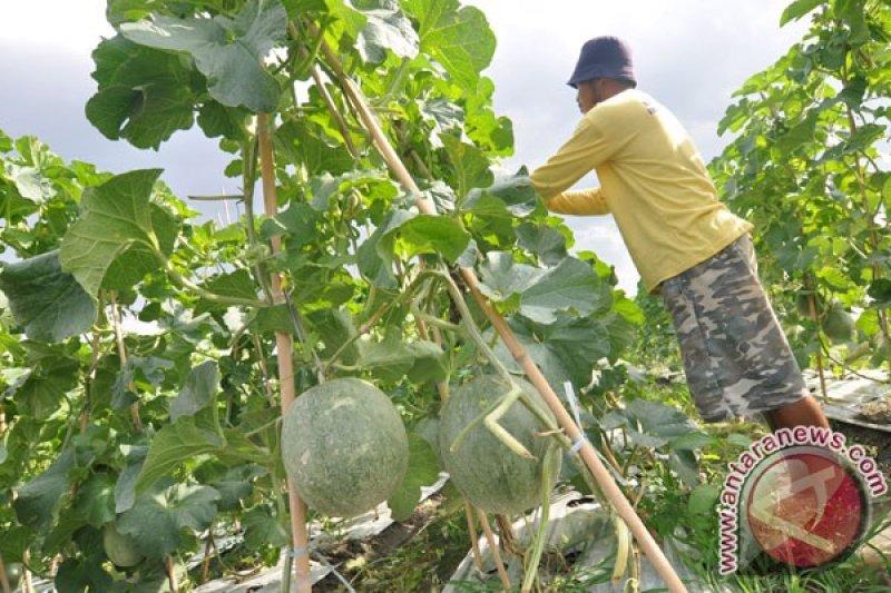 Banjarbaru Ingin Kembangkan Melon Di Kebun Raya Banua Antara News