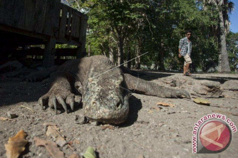 Lestarikan lingkungan, pengunjung Taman Nasional Komodo dibatasi