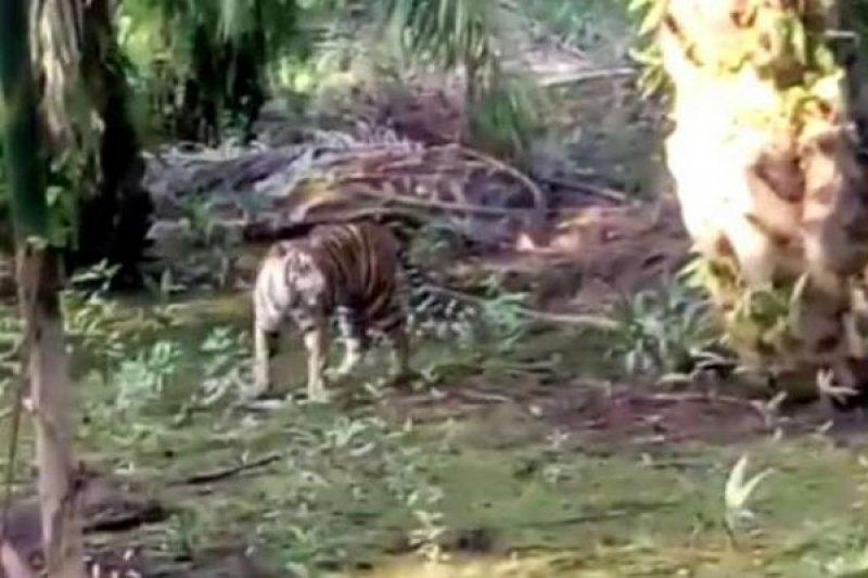 Masyarakat resah, dua ekor harimau masuk perkampungan di Rao Utara Pasaman
