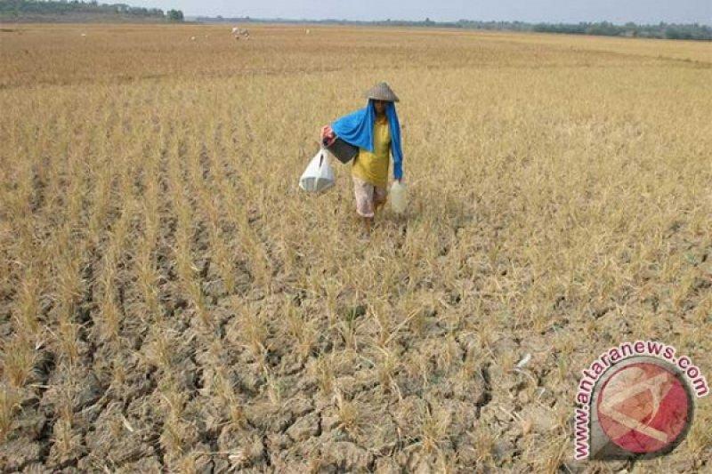 2.000 hektare lahan sawah di Oesao kekeringan