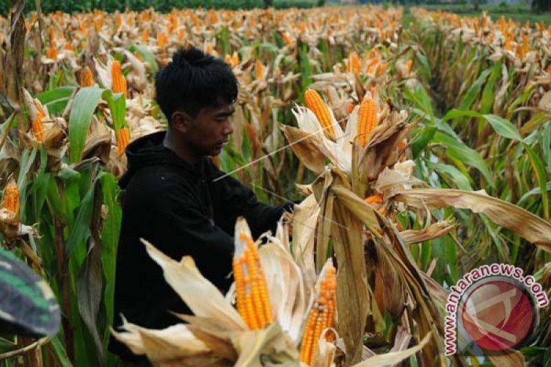 Produksi Jagung Sulbar Meningkat 42 Persen