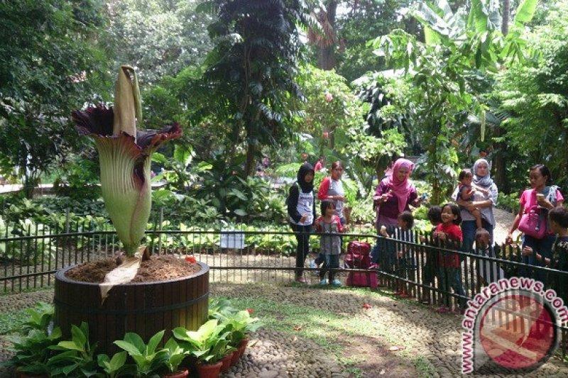 Bunga Bangkai Dalam Pot di Kebun Raya Bogor Mekar