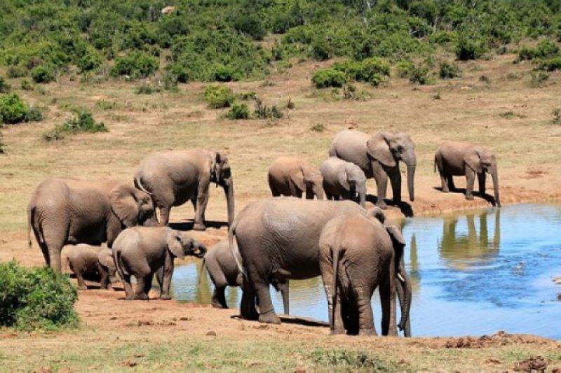 Mau Memotret, Dua Turis Tewas Terinjak Gajah