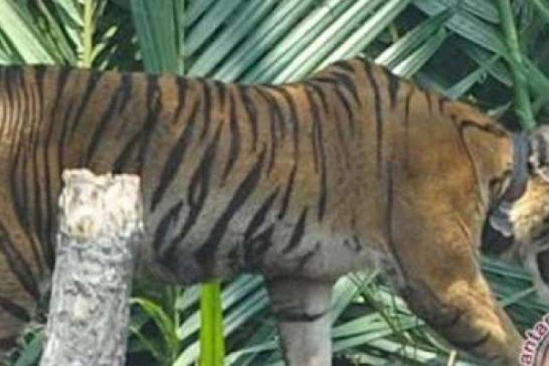 WWF said Sumatran tiger relocation to not solve human-wildlife conflict
