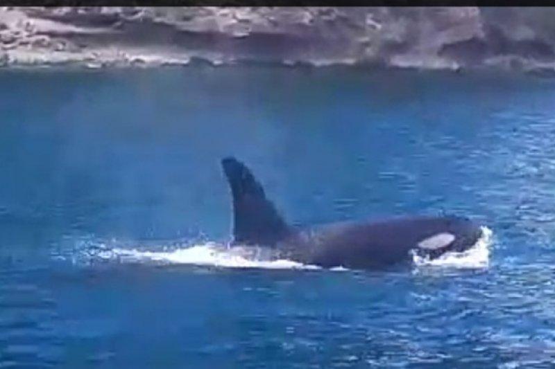 Kemunculan paus pembunuh di peraian Anambas Kepri sebuah anomali